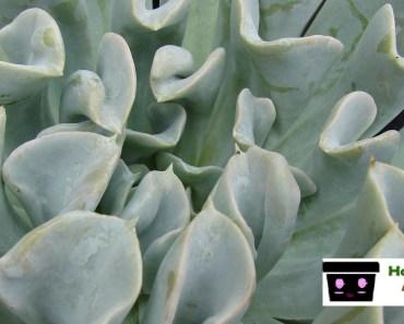 Plantas Echeverrias las mas bellas del reino vegetal