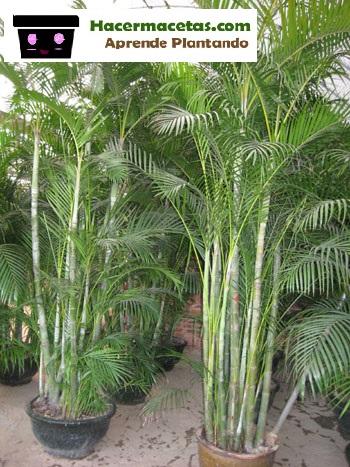 palma bambú