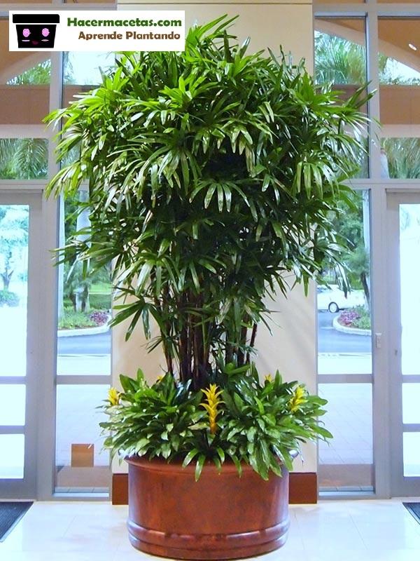 Palmera Rhapis excelsa en interior planta purificadora