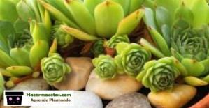 plantas de Echeverias reproduccion