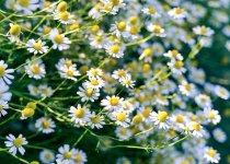 manzanilla planta