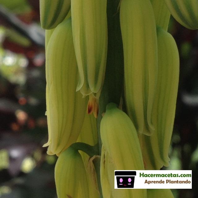 pistilos de flor de sábila