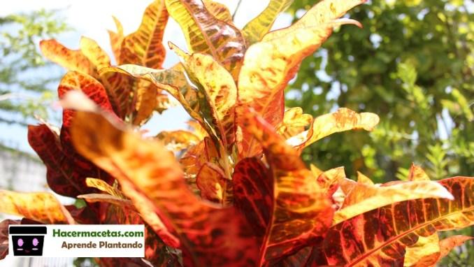 arbusto colorido