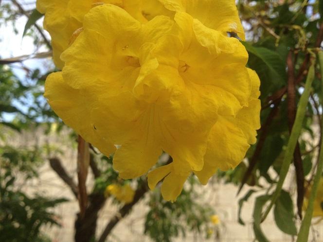 flores amarillas tublares