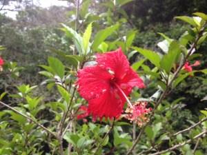 hibisco comun rosa china