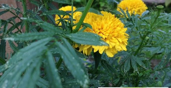 beneficios y usos de la planta de tagete