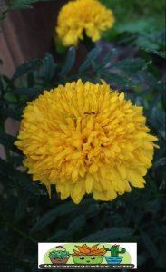 Flores de tagete amarillo