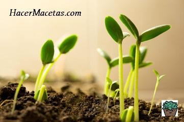 plántulas con sus dos primeras hojas, resultado excelente por usar turba para germinar.