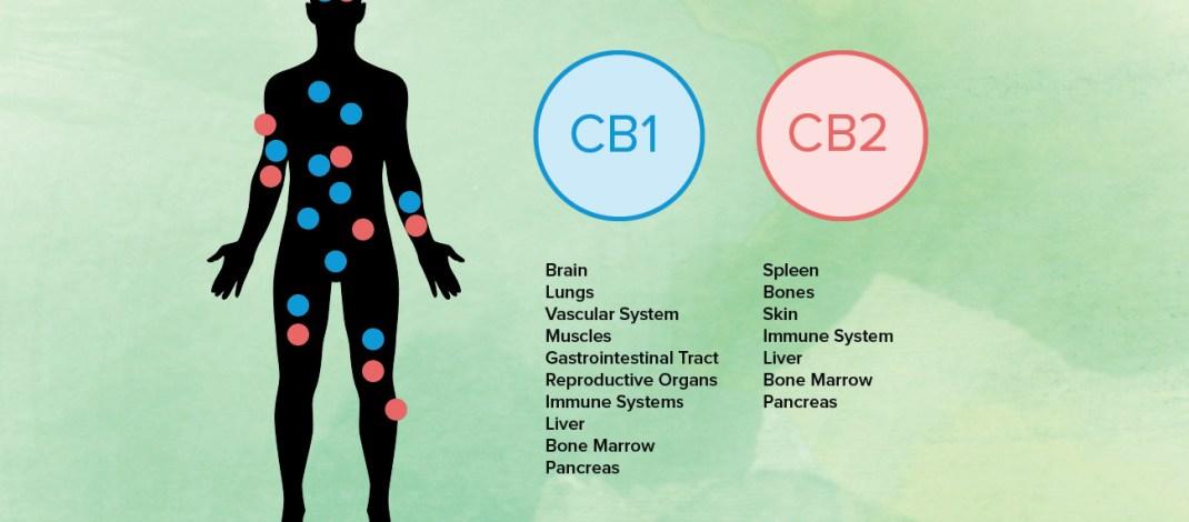Endocannibidol system