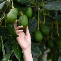 Avocado Awareness: The Sustainability of the Booming Avocado Industry