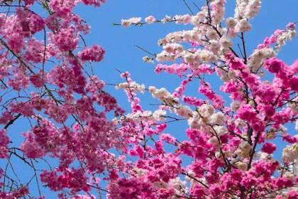 3つのポイントで見分けることができる桜の花と梅の花