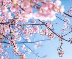 新年度がはじまる4月に咲く桜