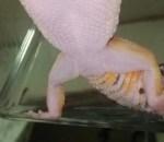ヒョウモントカゲモドキの雌雄判断する方法を紹介