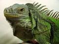 グリーンイグアナの飼育におすすめの餌を紹介