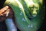 グリーンパイソンを飼いたい!グリーンパイソンの特徴と飼育方法を紹介!!