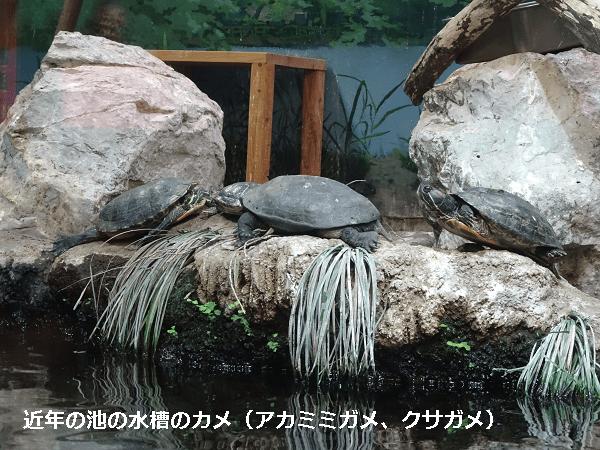 近年の池のカメ(アカミミガメ、クサガメ)