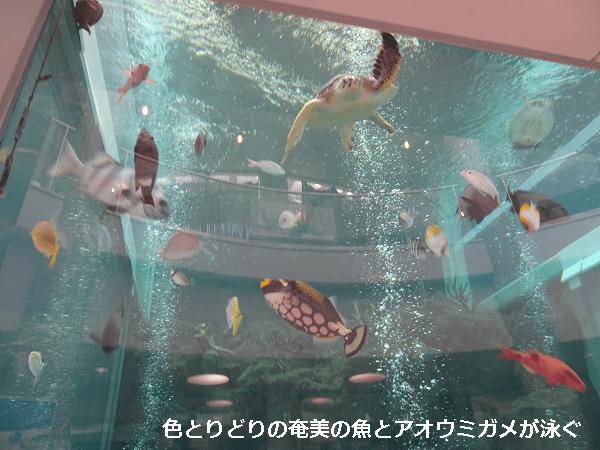 色とりどりの奄美の魚とアオウミガメが泳ぐ