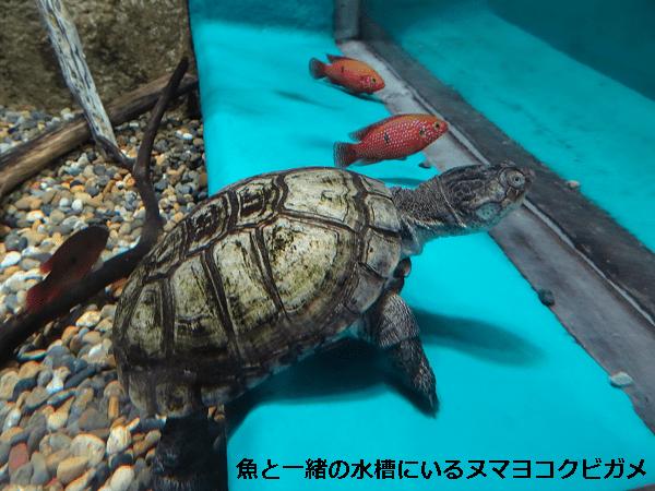 魚と一緒の水槽にいるヌマヨコクビガメ