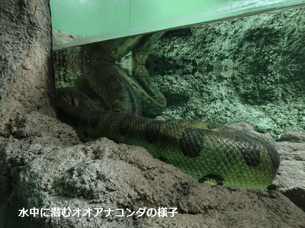 水中に潜むオオアナコンダ