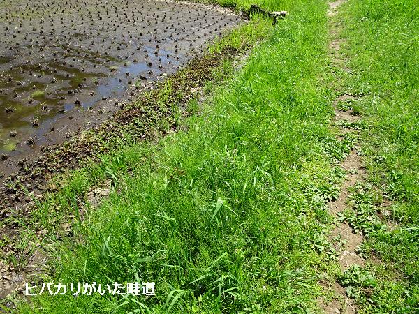 ヒバカリがいた畦道