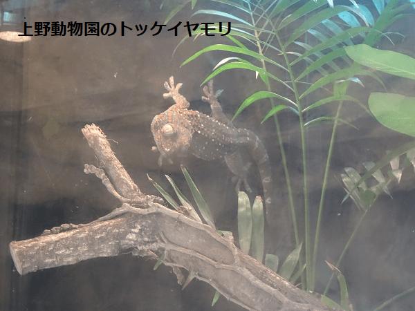 上野動物園のトッケイヤモリ