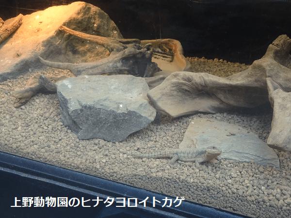 上野動物園のヒナタヨロイトカゲ
