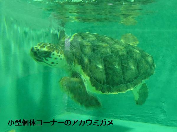 小型個体コーナーのアカウミガメ