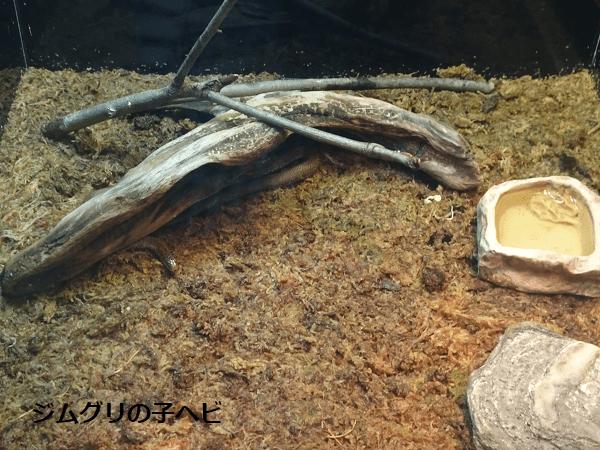 ジムグリの子ヘビ