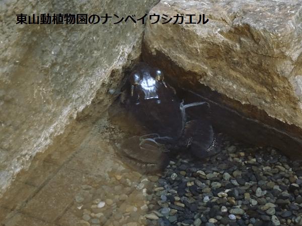 東山動植物園のナンベイウシガエル