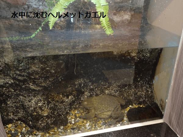 水中に沈むヘルメットガエル