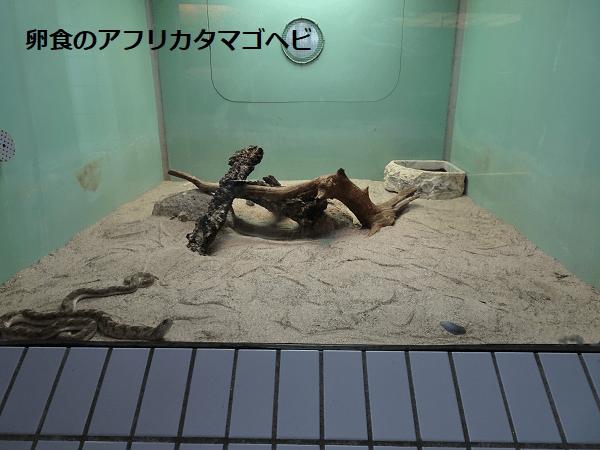 卵食のアフリカタマゴヘビ