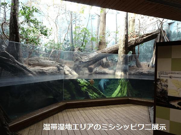 温帯湿地エリアのミシシッピワニ展示