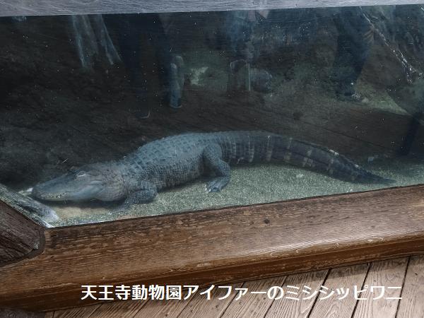 天王寺動物園アイファーのミシシッピワニ