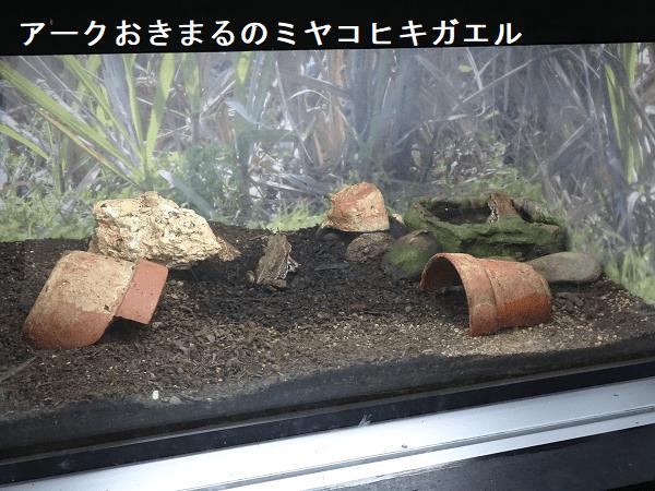 沖縄こどもの国アークおきまるのミヤコヒキガエル