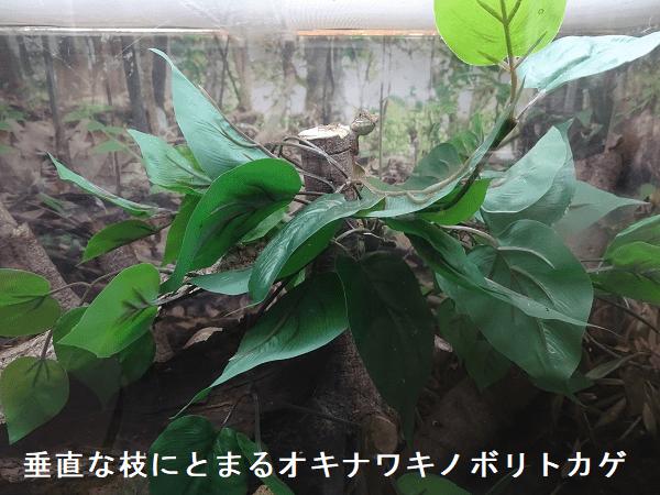垂直な枝にとまるオキナワキノボリトカゲ