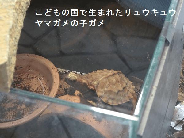 こどもの国で生まれたリュウキュウヤマガメの子ガメ