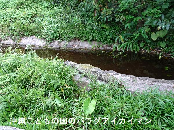 沖縄こどもの国のパラグアイカイマン