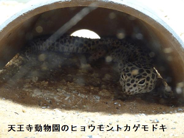 天王寺動物園のヒョウモントカゲモドキ