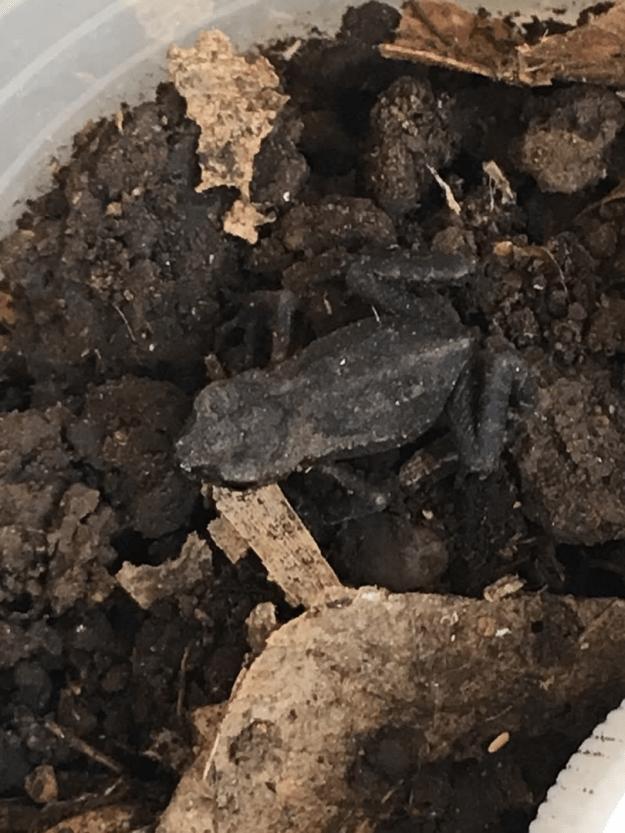 アブラムシを食べて大きくなるヒキガエルの子ガエル5月22日2