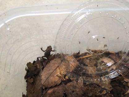 子ガエル 土を掘って隠れるように6月16日3