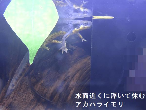水面近くに浮いて休むアカハライモリ