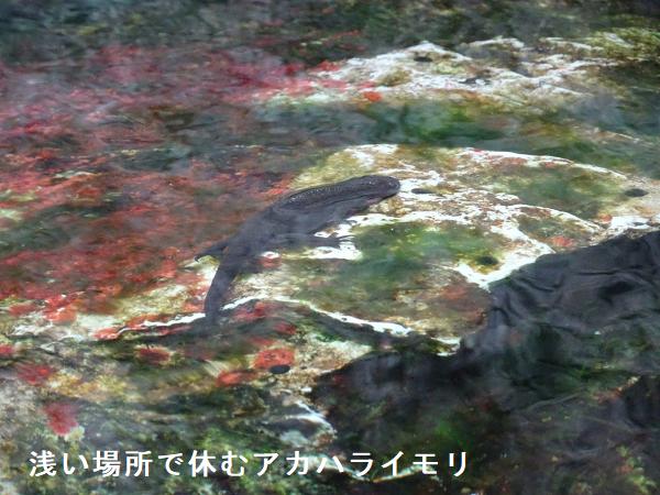浅い場所で休むアカハライモリ