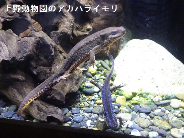 上野動物園のアカハライモリ