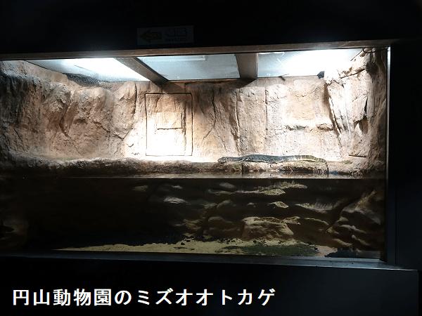 円山動物園のミズオオトカゲ