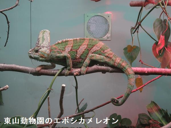 東山動物園のエボシカメレオン