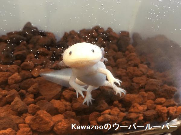 Kawazooのウーパールーパー