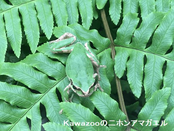 Kawazooの二ホンアマガエル