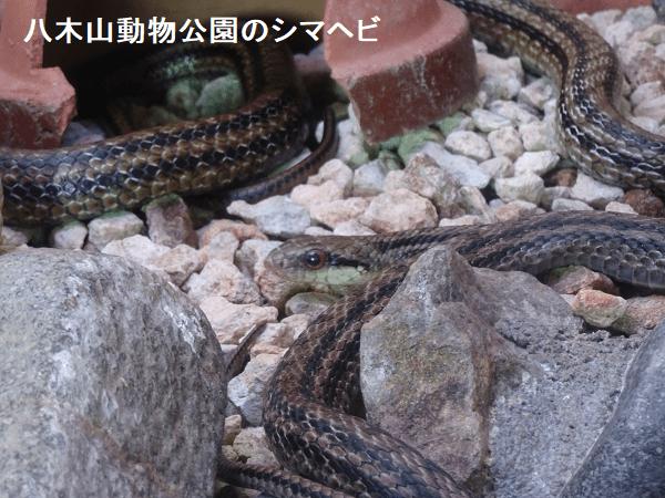 八木山動物公園のシマヘビ