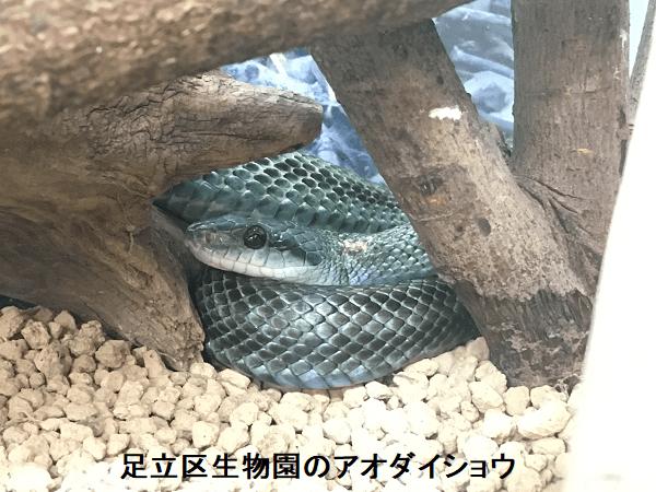 足立区生物園のアオダイショウ