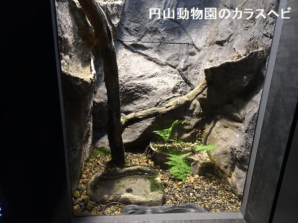 円山動物園のカラスヘビ